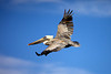 A brown pelican (Pelecanus occidentalis) in flight, soaring above the ocean.