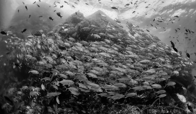 School of Jacks - Dive 7/12 - El Isolte
