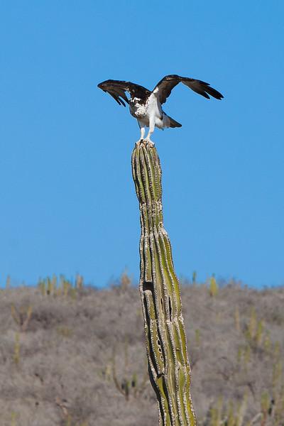 Cactus Hawk