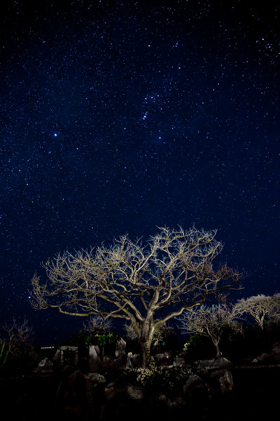 Ghost Tree under the Milky Way and constellation Orion