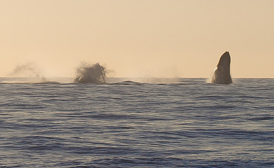 The splash of one whale is seen on the left, as another one prepares to breach on the right.