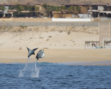 An incredible sight that I was very lucky to capture!  Two mobula rays jump out of the sea.