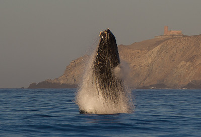 The next series of shots was probably the most exciting single event that I've had the pleasure to shoot.  A humpback whale jumps right in front of my boat, with the old Cabo San Lucas lighthouse in the distance.