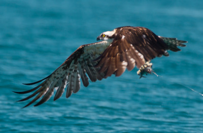 Osprey flying away with my bait.