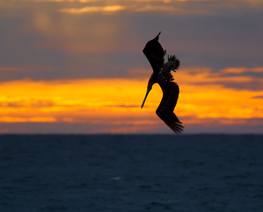 Pelican dive bomber at sunrise on Medano Beach January 14, 2012
