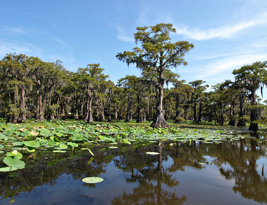 Caddo Lake and Lilly Pads