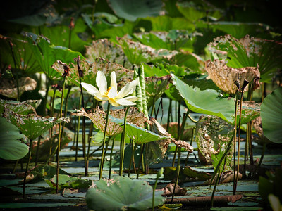 Water Lillies on Caddo Lake