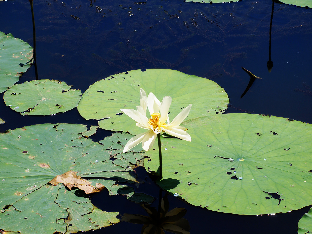 Water Lilly on Caddo Lake