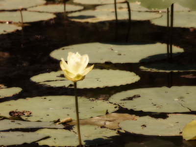 Lotus on Caddo Lake