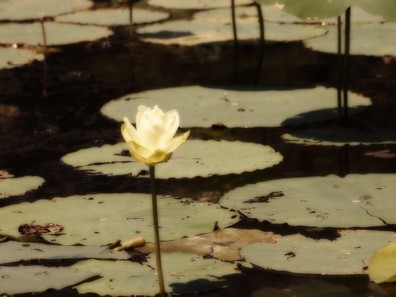 Lotus on Caddo Lake