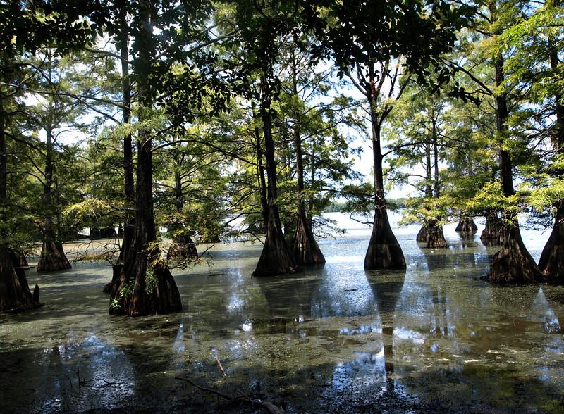 Cypress Stumps on Caddo Lake