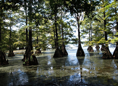 Cypress Stumps on Caddo Lake