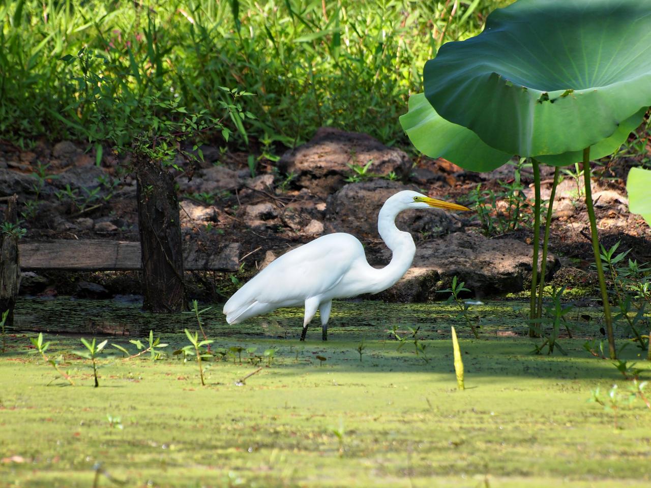 Great White Egret on Caddo Lake