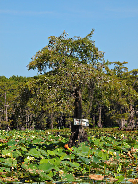 """Tame Tree Frogs in Area"" Cypress Tree - This is one of the oldest Cypress Trees on Caddo Lake."