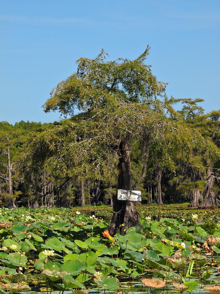 """""""Tame Tree Frogs in Area"""" Cypress Tree - This is one of the oldest Cypress Trees on Caddo Lake."""