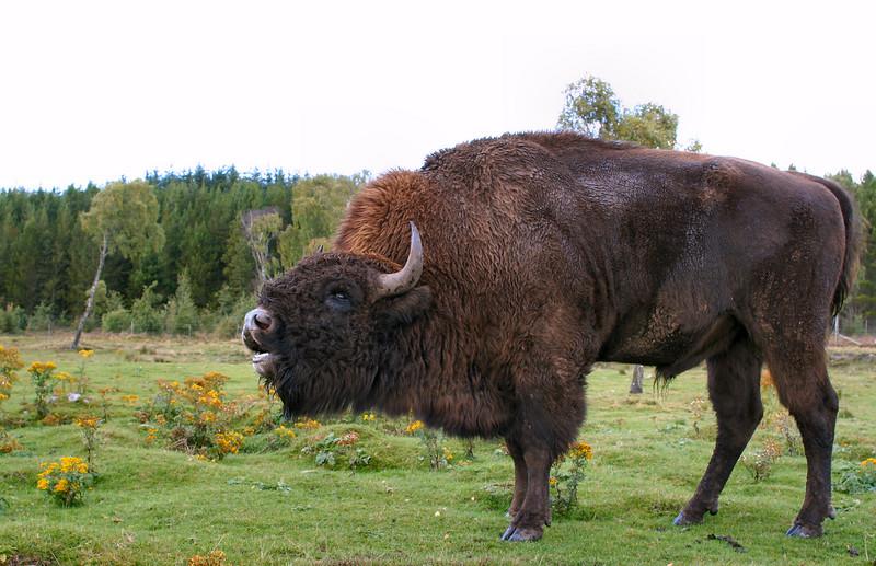 "Bison, <a href=""http://www.highlandwildlifepark.org"" target=""_blank"">Highland Wildlife Park</a>"