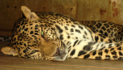 A jaguar taking a cat nap at the Cairo zoo.