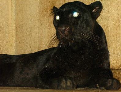 A black panther relaxing indoors out of the mid-afternoon heat at the zoo.    After my mild sunstroke that day, I realised that was one very smart cat!