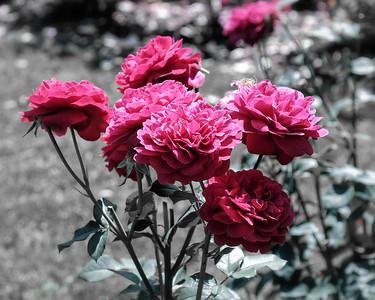 Int'l Rose Garden, Portland