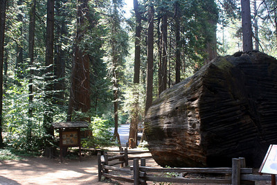 7/8/07 The Discovery Stump, North Grove, Calaveras Big Trees State Park, Calaveras County, CA