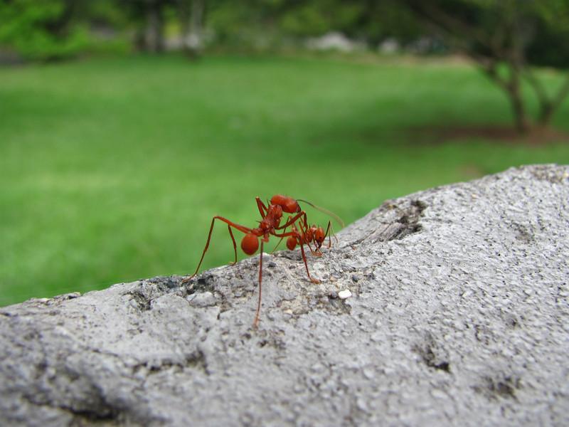 Hormigas arrieras