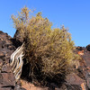 Tree growing on top of volcano rocks in Fossil Falls