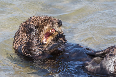 Sea Otters at Moss Landing