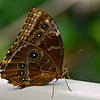 "Blue Morpho butterfly, showing its ""protective eyes."""