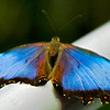 Blue Morpho with wings unfolded.