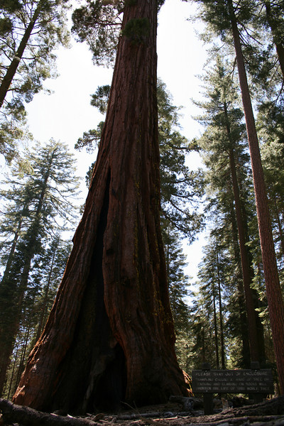 A Giant Sequoia in Mariposa Grove