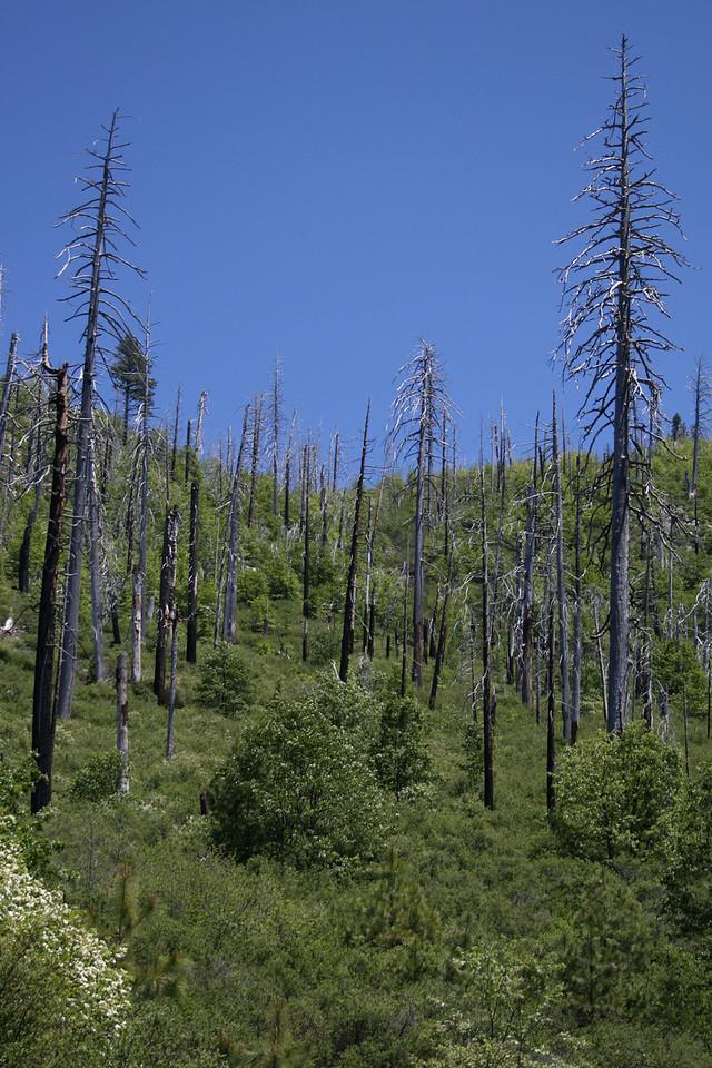 Dead trees in Yosemite.