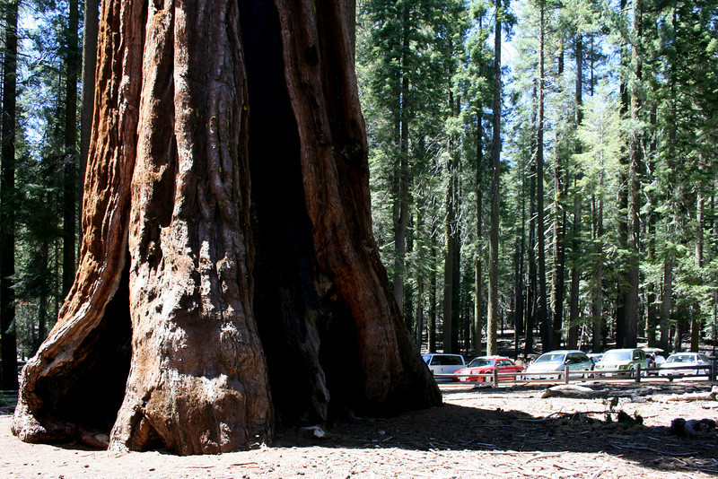 A HUGE Giant Sequoia in the Mariposa Grove in front of parked cars.