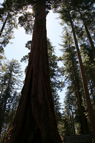 Looking up at Giant Sequoia in the Mariposa Grove.