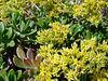 Wilder Ranch State Park (jade plant)