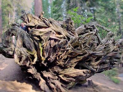 Nick in sequoia root