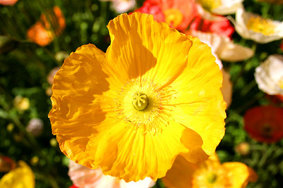 Colorful poppy