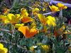 Elkhorn Slough - California Poppy