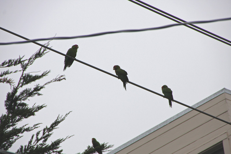 """The wild parrots of Telegraph Hill have been a San Francisco icon ever since the 2005 film of the same name was released. Natives of the city had been familiar with the parrots since the 1990s, when they first began to settle and breed in the city in large numbers. Visitors to the city often seek out the flock of feral parrots during their visits because the ever growing flock of tropical birds is a unique and startling sight in the urban environs of Northern California.<br> <br> The majority of the birds grouped into the wild parrots of Telegraph Hill are red masked parakeets, also called Cherry Headed Conures. The birds came from escaped and deliberately released pets in the 1990s, and they apparently quickly found an ecological niche. The flock started out with a single breeding pair, and by 2005, the wild parrots of Telegraph Hill had exceeded 200 birds.<br> <br> Telegraph Hill is a region in the Northeastern part of San Francisco, capped by Coit Tower, which is a distinctive landmark on the San Francisco skyline. The wild parrots of Telegraph Hill probably favor the region because its extensive gardens, which tumble down the hill amidst a winding maze of streets and walking paths. The lush gardens of the area provide an abundance of food for the wild parrots of Telegraph Hill, along with nesting areas.<br> <br> In a celebration of urban wildness, the film - THE WILD PARROTS OF TELEGRAPH HILL - follows formerly homeless street musician Mark Bittner into San Francisco's avian subculture, where a remarkable flock of wild green-and-red parrots live and work to survive. Dubbed the """"Bohemian St. Francis,"""" Bittner falls in with the flock as he searches for his path through life, unaware that the wild parrots will do more for him than eat his sunflower seeds."""