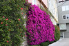 <b>Very well-trained and well-cared for <i>Bougainvillea</i></b>