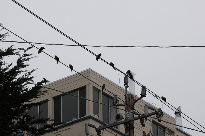 "The wild parrots of Telegraph Hill have been a San Francisco icon ever since the 2005 film of the same name was released. Natives of the city had been familiar with the parrots since the 1990s, when they first began to settle and breed in the city in large numbers. Visitors to the city often seek out the flock of feral parrots during their visits because the ever growing flock of tropical birds is a unique and startling sight in the urban environs of Northern California.<br> <br> The majority of the birds grouped into the wild parrots of Telegraph Hill are red masked parakeets, also called Cherry Headed Conures. The birds came from escaped and deliberately released pets in the 1990s, and they apparently quickly found an ecological niche. The flock started out with a single breeding pair, and by 2005, the wild parrots of Telegraph Hill had exceeded 200 birds.<br> <br> Telegraph Hill is a region in the Northeastern part of San Francisco, capped by Coit Tower, which is a distinctive landmark on the San Francisco skyline. The wild parrots of Telegraph Hill probably favor the region because its extensive gardens, which tumble down the hill amidst a winding maze of streets and walking paths. The lush gardens of the area provide an abundance of food for the wild parrots of Telegraph Hill, along with nesting areas.<br> <br> In a celebration of urban wildness, the film - THE WILD PARROTS OF TELEGRAPH HILL - follows formerly homeless street musician Mark Bittner into San Francisco's avian subculture, where a remarkable flock of wild green-and-red parrots live and work to survive. Dubbed the ""Bohemian St. Francis,"" Bittner falls in with the flock as he searches for his path through life, unaware that the wild parrots will do more for him than eat his sunflower seeds."