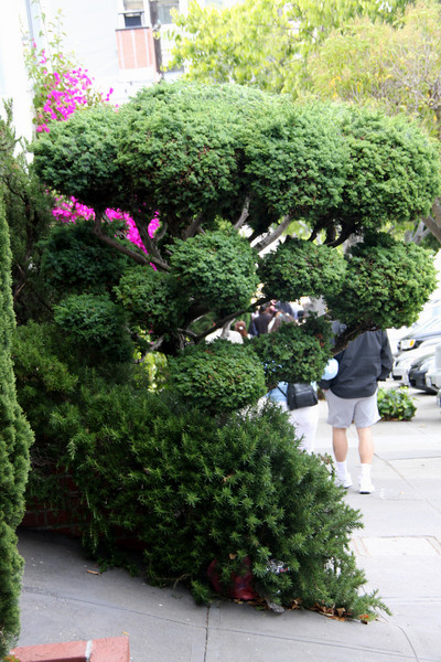 <b>Beautiful topiary on one of the streets in San Francisco</b>