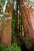 <b>Coast Redwood</b> <i>(Sequoia sempervirons)</i><br> <br>The native people of this region, the Coast Miwok, called the redwood <i>tc-ole</i> or  <i>tcobe</i>.  On the Kalamath River, far to the north, Yuroks referred to redwoods as <i>keelch</i>.  The first written reference to redwoods was penned on October 10, 1979, by Father Juan Crespi, a missionary who came to California with the Spanish exploratory expedition led by Captain Gaspar de Portola. Noticing the reddish bark of the trees, Crespi called them  <i>palo colorado</i> - redwood.<br> <br> Today, the scientific name for coast redwood is  <i>Sequoia sempervirens</i>, evergreen sequoia.  That name was proposed in 1847 by Stephen Endlicher, an Austrian botanist.  He apparently wished to honor the Cherokee scholar, Sequoyah, who had invented an alphabet for the spoken language of his people.<br> <br> The Coastal Redwoods are the tallest trees on Earth, reaching heights of over 368 feet (112 meters). They are one of the widest trees on earth, reaching diameters at their base of over 30 feet (9.3 meters) and one of the oldest trees in existence, the oldest on record having lived 2,200 years when it was cut down.