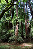 <b>Coast Redwood</b> <i>(Sequoia sempervirons)</i><br> <br> The native people of this region, the Coast Miwok, called the redwood <i>tc-ole</i> or  <i>tcobe</i>.  On the Kalamath River, far to the north, Yuroks referred to redwoods as <i>keelch</i>.  The first written reference to redwoods was penned on October 10, 1979, by Father Juan Crespi, a missionary who came to California with the Spanish exploratory expedition led by Captain Gaspar de Portola. Noticing the reddish bark of the trees, Crespi called them  <i>palo colorado</i> - redwood.<br> <br> Today, the scientific name for coast redwood is  <i>Sequoia sempervirens</i>, evergreen sequoia.  That name was proposed in 1847 by Stephen Endlicher, an Austrian botanist.  He apparently wished to honor the Cherokee scholar, Sequoyah, who had invented an alphabet for the spoken language of his people.<br> <br> The Coastal Redwoods are the tallest trees on Earth, reaching heights of over 368 feet (112 meters). They are one of the widest trees on earth, reaching diameters at their base of over 30 feet (9.3 meters) and one of the oldest trees in existence, the oldest on record having lived 2,200 years when it was cut down.