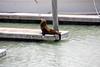 Pier 39 - California Sea Lions