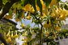 <b>Yellow Angel Trumpet</b> <i>(Brugmansia x candida)</i>  [B]