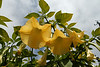 Yellow Angel Trumpet