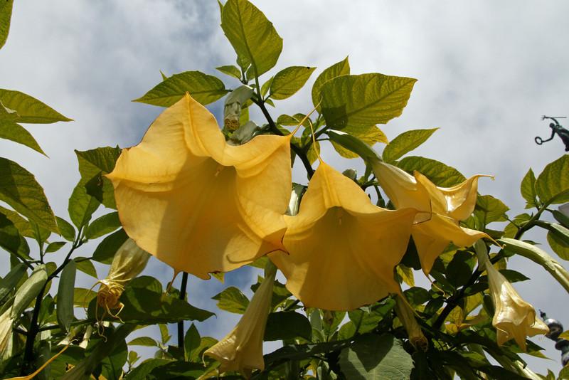 <b>Yellow Angel Trumpet</b> <i>(Brugmansia x candida)</i>