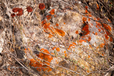 Rust colored plant in front of rock with rust colored lichen at  Pinnacles National Park.