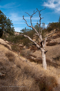 Barren tree in meadow at Pinnacles National Park.
