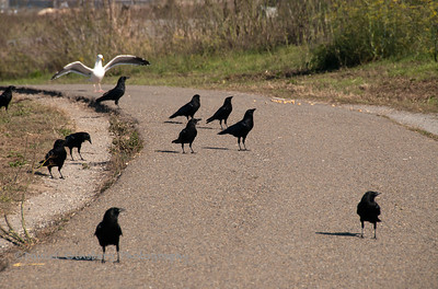 A seagull and blackbirds on a walkway in the Berkeley Marina Park.